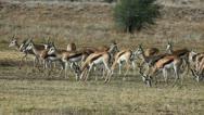 Grazing springbok antelopes, Kalahari desert, South Africa Stock Footage