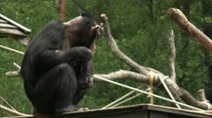 MS Common Chimpanzee (Pan troglodytes) playing in zoo Stock Footage