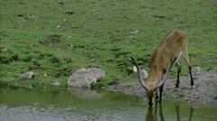 MS Gazelle drinking from pond Stock Footage