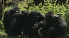 MS Three Common Chimpanzees (Pan troglodytes) sitting together on grass Stock Footage