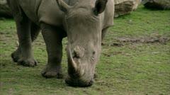 CU TS Black Rhinoceros (Diceros bicornis) and antelopes grazing Stock Footage