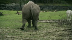 MS TS White Rhinoceros walking back Stock Footage