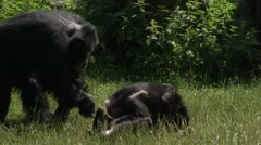 MS TS Two young Common Chimpanzee (Pan troglodytes) playing on grass Stock Footage
