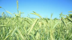 Wheat field (close up) _5 Stock Footage
