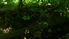 Summer Midges Gather in a Swarm in a Forest Stock Video - stock footage