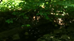 Summer Midges Gather in a Swarm in a Forest Stock Video Stock Footage