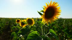 Sun and sunflower in a clear blue sky Stock Footage