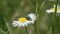 Dead-Nettle Leaf Beetle, Chrysolina fastuosa Stock Footage