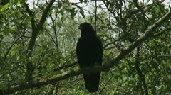 Carrion crow - Corvus corone sitting on tree branch 02i zoom out Stock Footage