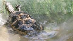 European Pond Terrapin, Emys orbicularis Stock Footage