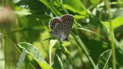 Silver-Studded Blue Butterfly, Plebejus argus, close up Stock Footage