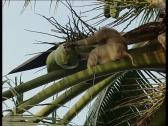 Monkey picking coconut Stock Footage