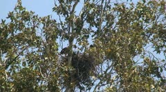 Red Tail Hawks: 2 Juveniles in nest trying out wings Stock Footage