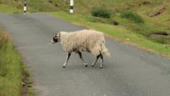 Swaledale sheep crossing road, yorkshire Stock Footage