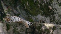 MS Tiger (Panthera tigris) lying on rocks Stock Footage
