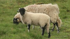 Swaledale sheep grazing, yorkshire dales Stock Footage