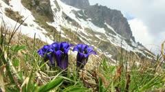 Gentian - swiss flower Stock Footage