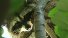 Raccoon in a Tree Stock Footage