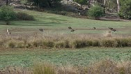 Group of grey kangaroos hopping through bush Grampians Victoria Stock Footage