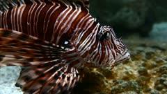 Lion fish Stock Footage