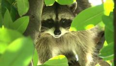 Wild Raccoon Zoom Out Stock Footage