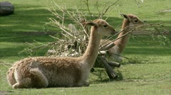 MS Two llamas (Lama glama) lying on grass Stock Footage