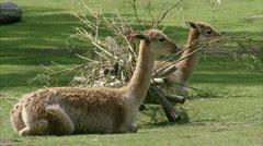 MS Two llamas (Lama glama) lying on grass - stock footage