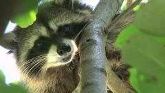 North American Raccoon Stock Footage