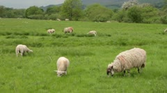 Sheep grazing, yorkshire dales, England Stock Footage