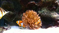 Clown Anemonefish Stock Footage