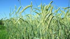 Wheat field _9 Stock Footage