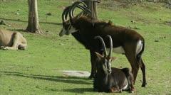 MS Three sable antelopes on grass Stock Footage