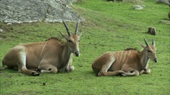 MS Two antelopes lying on grass Stock Footage