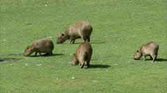 WS Three Capybaras (Hydrochoerus hydrochaeris) grazing - stock footage