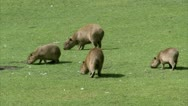 Stock Video Footage of WS Three Capybaras (Hydrochoerus hydrochaeris) grazing