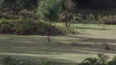 Adult male grey kangaroo hopping away Grampians Victoria Australia Stock Footage