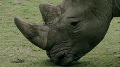 CU TS White Rhinoceros grazing Stock Footage