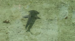 Baby Hammerhead Shark From Above Stock Footage