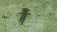 Stock Video Footage of Baby Hammerhead Shark From Above