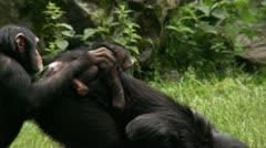 WS TS Common Chimpanzee (Pan troglodytes) with two babies playing on grass Stock Footage