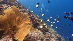 Colorful corals, fish and SCUBA Divers - stock footage
