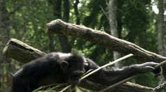 MS TS Common Chimpanzee (Pan troglodytes) climbing tree Stock Footage