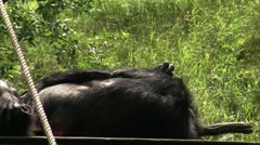 MS Rear view of Common Chimpanzee (Pan troglodytes) relaxing on grass Stock Footage