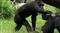 MS TS Common Chimpanzees (Pan troglodytes) playing on grass Stock Footage