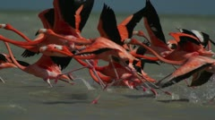 pink flamingo mexico wildlife bird - stock footage