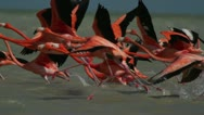 Stock Video Footage of pink flamingo mexico wildlife bird