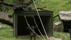WS Common Chimpanzees (Pan troglodytes) playing in zoo Stock Footage