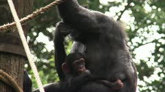 MS Common Chimpanzee (Pan troglodytes) with baby in zoo Stock Footage