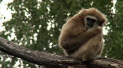 MS Lar Gibbon (Hylobates lar) sitting on branch Stock Footage