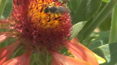 Bee Pollinating a Flower, Macro Stock Footage